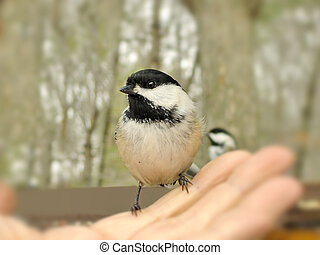 Chickadee  in the hand.