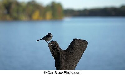 Chickadee lands at lake perch to peck and eat a nut. - Blue...