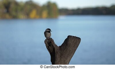 Chickadee lands to take nut then flies away with a lake in...