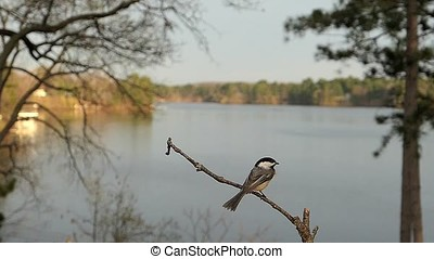 Chickadee on a branch by a lake. - Slow motion clip of a...