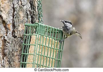 Chickadee on a suet cage.
