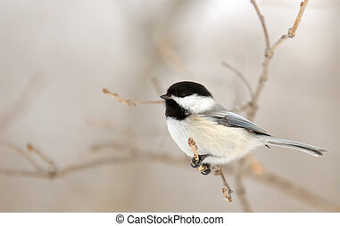Chickadee perched on a branch with space for text on the left.