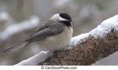 Chickadee On Branch In Winter - Chickadee on branch in...