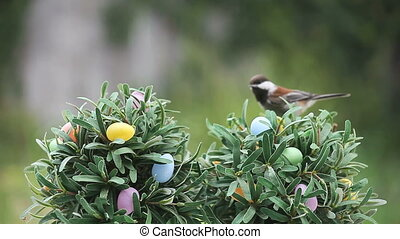 chickadee on Easter egg tree - a chickadee looks for food on...