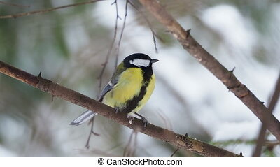 Chickadee Parus sitting on frozen tree branches. Close up footage of colorful bird in winter forest.