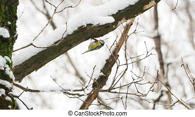 Chickadee Parus skipping on frozen tree branches. Colorful...