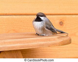 chickadee, passerine, hudsonicus, boreal, pájaro, poecile