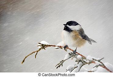 chickadee, storm., sneeuw