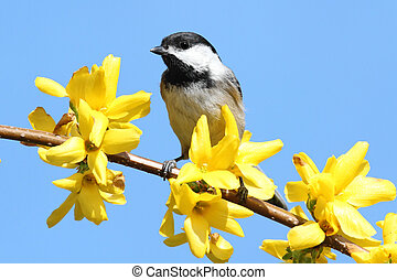 Black-capped Chickadee (Poecile atricapillus) perched on a branch with flowers