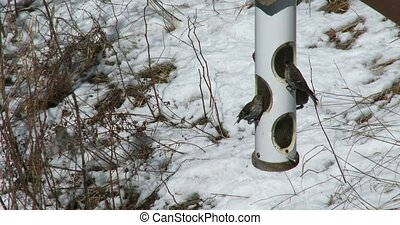 Chickadees eating seeds in winter