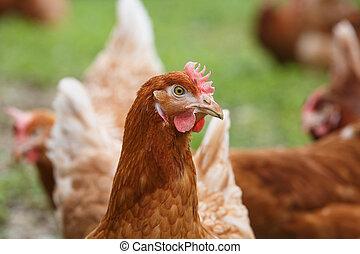 (chicken), 母雞, 農場, 有机, 自由排列