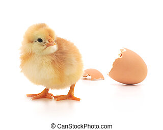 Chicken and an egg shell