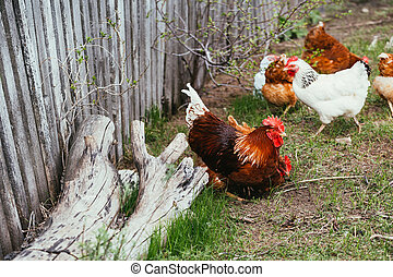 chicken and rooster walking in the grass