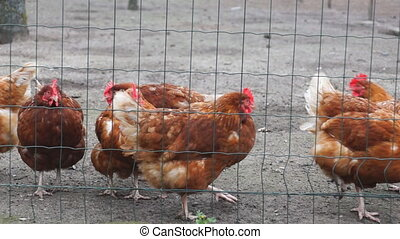 Chicken behind a fence - Brown chicken behind a fence in a...