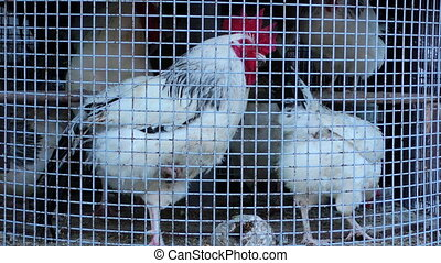 Chicken Bird in Cage