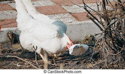chicken bird pecking foam hen - chicken bird pecking foam...