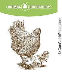 chicken breeding. animal husbandry. livestock