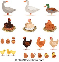 Chicken brood hen, ducks and other farm birds and his eggs....