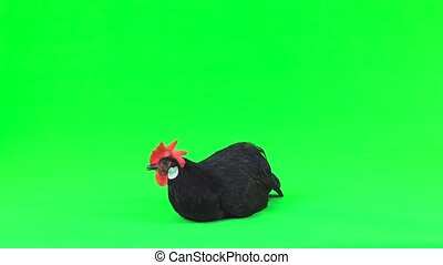 chicken carries an egg on a green screen