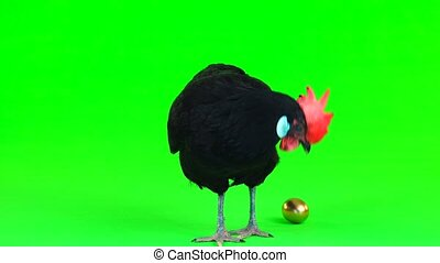 chicken carries an gold egg on a green screen
