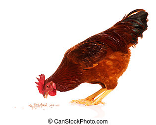 Cute chicken isolated on white background