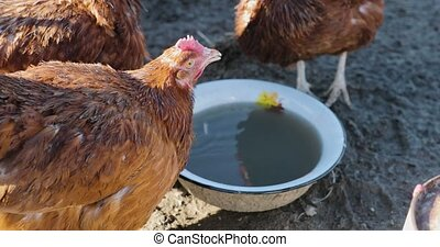 chicken drink water from a bowl.