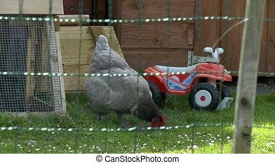Chicken Eating Grass - Steady, medium wide shot of a chicken...