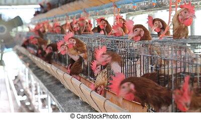 Chicken farm, hen egg. - Set collection montage, Chicken...