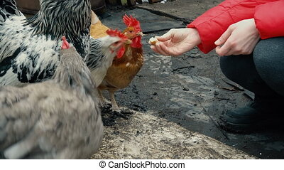 chicken feeding from woman hand