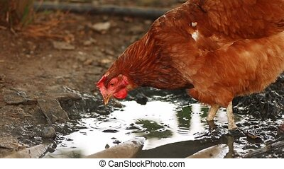 Chicken feeding in mud slow motion