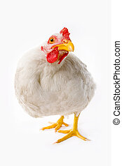 Fish-eye shot of white chicken looking at camera in studio