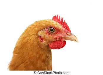 chicken headshot