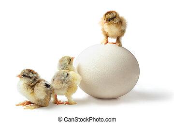Chicken hierarchy