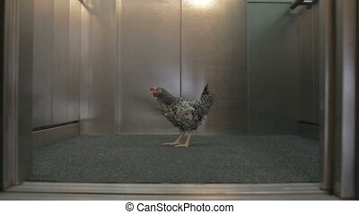Chicken in elevator door opening and closing
