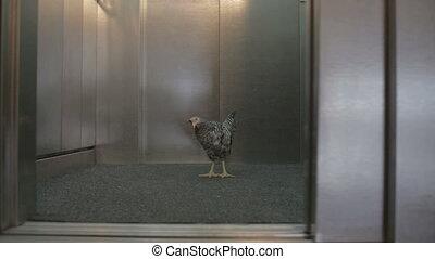 Chicken in elevator door opening and closing