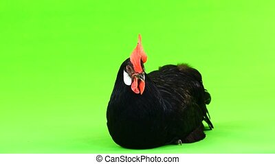 chicken is sitting on the green screen