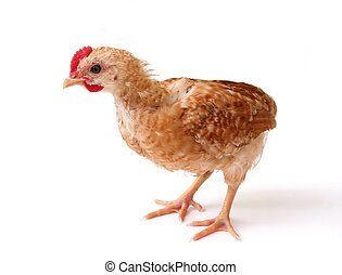 Isolated chicken