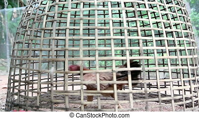 chicken life in bamboo cage