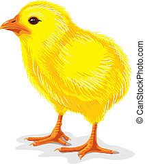 Chicken - little yellow chicken isolated on white, vector...