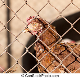 Chicken on a farm outside the fence