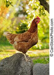 A red chicken standing on a boulder in the garden