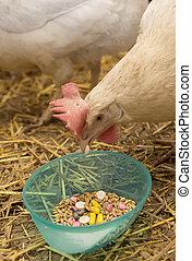 Chicken Pecks Pill