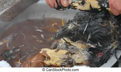 Chicken Plucking Prepare for Cooking. Pot with Boiling water to remove the feathers of chicken. Unsanitary conditions.