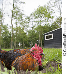 chicken rooster on a farm