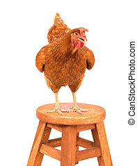 chicken ,rooster standing on wood path isolated white background