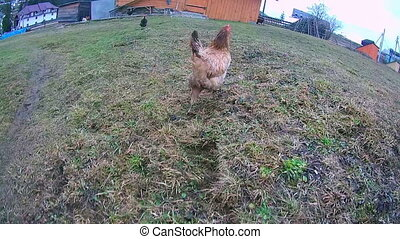 Chicken runs on grass. - Hen running fast on the field, and...