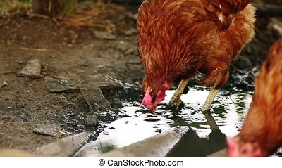 Chicken searching organic food in mud of puddle in slow...