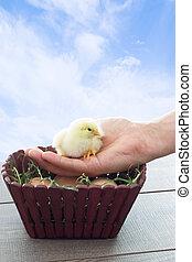 chicken sitting on a human hand