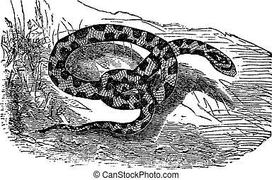 Chicken Snake or Rat Snake or Elaphe sp. or Pituophis melanoleucus vintage engraving