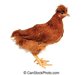 Tufted brown chicken, isolated
